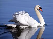 A Swan - gracefully swimming on rippling water